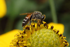 Bee on yellow pollen. Royalty Free Stock Photos
