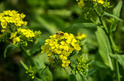 Bee on yellow rape flower. A view of a bee on a rape flower Stock Photo