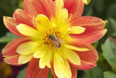 Bee yellow red stock photo