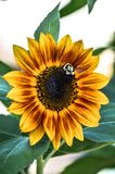 Bee on a yellow & red sunflower stock image