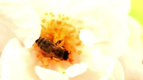 Bee In Yellow Rose.A honey bee collects pollen from a yellow rose stock video footage