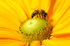 Bee on yellow rudbeckia (coneflower) Stock Photo