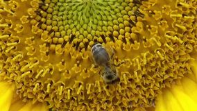 Bee on yellow sunflower stock footage