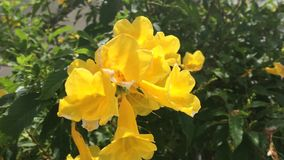 Bee in yellow trumpet flower on nature stock video footage