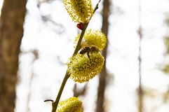 Bee on a yellow willow flower in spring - Earth Day. Background stock images