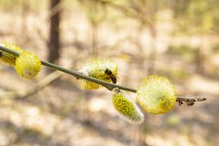 Bee on a yellow willow flower in spring - Earth Day royalty free stock photo