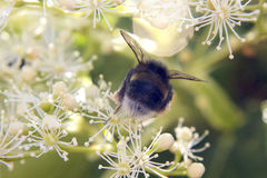 Bee yourself. A bumblebee in nordic nature Royalty Free Stock Images