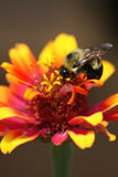 Bee on Zinnia Stock Image