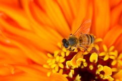 Bee and Zinnia flower Stock Photo