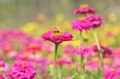 Bee on zinnia flower Stock Photos
