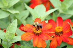 Bee on Zinnia Flower Stock Images