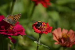 Bee on zinnia Stock Photography