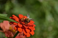 Bee on zinnia Stock Images