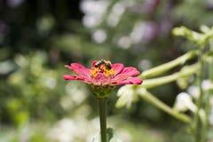 Bee on zinnias Royalty Free Stock Photos
