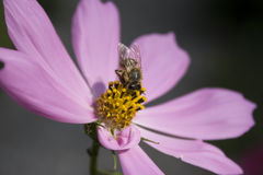 Bee on zinnias Royalty Free Stock Photography