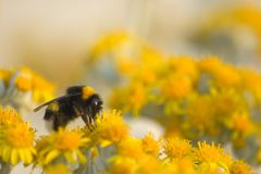 Bee1 Royalty Free Stock Photo