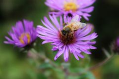 BEEautiful aster Fotografia Royalty Free