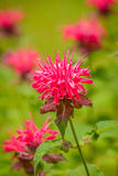 Beebalm Royalty Free Stock Photography