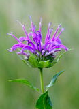 Beebalm Stock Photography