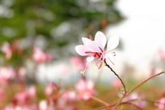 Beeblossom在汝矣岛公园,汉城 免版税库存照片