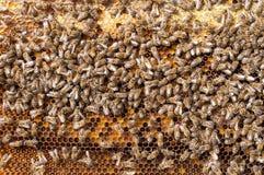 Beebread natural de las abejas en alimenticio apitherapy de la ambrosía de los panales Imágenes de archivo libres de regalías