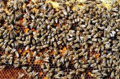 Beebread natural de las abejas en alimenticio apitherapy de la ambrosía de los panales Imagenes de archivo