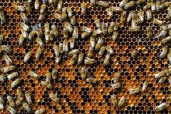 Beebread natural de las abejas en alimenticio apitherapy de la ambrosía de los panales Fotos de archivo
