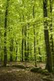 Beech forest in the spring. royalty free stock photos
