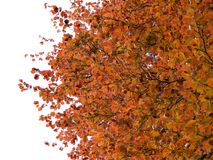 Beech Royalty Free Stock Photography