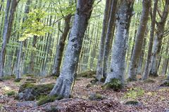 Beech. A typical environment of beech wood in Monte Amiata (Tuscany, Italy Royalty Free Stock Photos