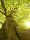 Beech Stock Images