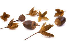 Beech and acorn seeds 2 Stock Photo