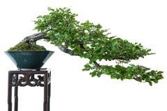Beech as bonsai tree Stock Photo