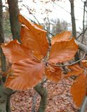 Beech in the autumn Stock Images