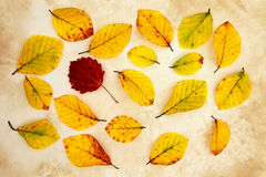 Beech autumn leaves Stock Photos