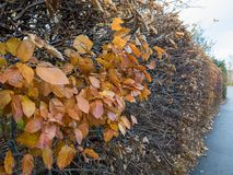 Beech Fagus sylvatica. Some autumn leaves left on a long hedge Royalty Free Stock Photography