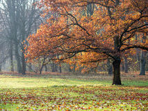 Beech in autumn Stock Photography