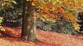 Beech in the autumn park stock footage