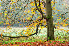 Beech  in Autumn. Beech tree branches and colorful leaves in autumn Stock Photo