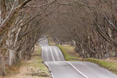 Beech avenue Royalty Free Stock Photography