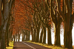 Beech avenue. The road in the midst of monumental, tall beech trees Stock Photo