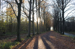 Beech avenue in back light. Royalty Free Stock Photos