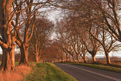 Beech Avenue. The beech avenue at Kingston Lacy in Dorset, England Royalty Free Stock Photo