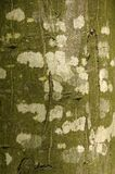 Beech bark 02. Beautifully coloured beech bark stock photography