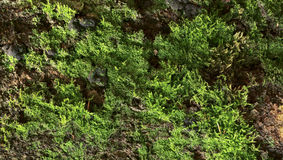 Beech bark. With moss and lichen Stock Image
