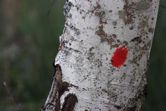 Beech bark marking for hikers. Red marking for hikers on beech trunk, Italy Royalty Free Stock Photo