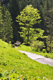 Beech in Bavaria Alps Stock Photo
