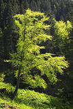 Beech in Bavaria Alps Royalty Free Stock Images