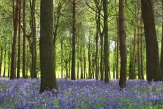 Beech and blue Royalty Free Stock Photo