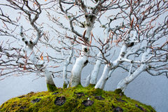 Beech Bonsai Royalty Free Stock Photo